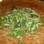 Processus de fabrication de la soie favorisant le travail des femmes