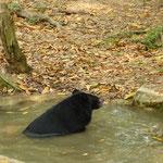 Ours asiatique