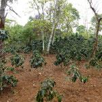 Plantations de café sur le plateau de Boloven