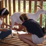 La traite des chèvres pour le fromage