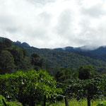 Plantations de café à Boquete