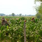 Plantations de tabac