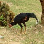 Poulet typique d'asie il leurs manque quelques plumes