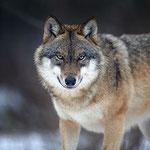 512px-Canis_lupus_2_(Martin_Mecnarowski)