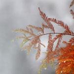 Die echte Sumpzypresse im Herbst