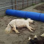Totes Pony? Nein - FRESSMASCHINE im Pausenmodus...