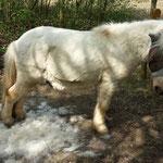 Das Schaf verliert langsam seine Wolle - den Streifen hatte ich ihm allerdings schon im Winter geschoren! Damit schwitzte er nicht ganz so vor dem Sulky.