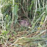 Fasanin im Gras auf Eiern auf Weide - hab mal sicherheitshalber Zaun aussen rum gebaut...