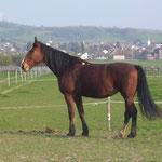 Mein heißgeliebtes erstes Pferd: Nase! Ein Ex-Schulpferd mit COPD und Spat.