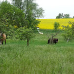 Die Pferde durften Anfang Mai dann erstmals ganze Nächte draussen bleiben, hier also morgens beim Reinholen