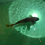 Creature from deep sea, チゴダラと言います。おいしいらしいです。 (Jan. 2013)