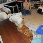 07.12.2013 Besuch von Japanspitzhündin Blanca und vom Volpino Italiano Ruffy