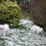 Zei Schneesterne im Schnee;  Pascha links, Lexi rechts K.O