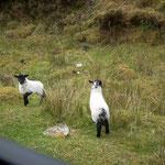 Agneaux sur Achill Island