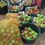 Die von der NAJU mitgebrachten Äpfel