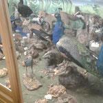 Der Ausstellungsraum mit den ausgestopften Tieren