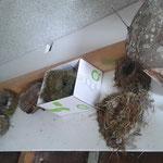 Die Ausstellung der verschiedenen Vogelnester