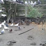 Die Tauben und Enten