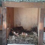 Ein Nest eines Gartenrotschwanzes in einer Nisthilfe