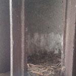 Das Nest eines Trauerschnäppers in einer Bruthöhle