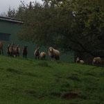Die Schafe schauen neugierig
