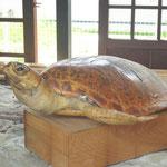 秋田県角館でウミガメのはく製を発見。今にも動き出しそうでした(県連書記局)