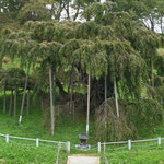 有名な福島県三春町の滝桜。シーズン外れだったので誰もいませんでした(盛岡 木皿 義倫さん)
