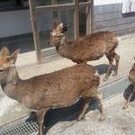 金華山の入口で鹿の家族に歓迎されました。訪れる人達に自然と寄ってきます(県連書記局)