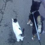 犬の散歩をする時はいつも猫も一緒でとても仲良しです。リク君(犬)とチャッケ君(猫)(江刺建築組合事務局)