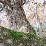 宮古市川井にあるイチイの樹。樹齢500年の歴史を考えると、自然の力には到底及びません(宮古 中居 一雄さん)
