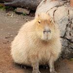 とある動物園で視線を感じ振り返ってみるとカピバラと目が合ってしばらく見つめ合ってました。