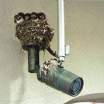 夢産直かみごうの外部カメラにツバメの巣を発見。ヒナが5匹いました(釜石 藤井 泰男さん)