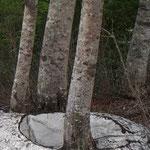 5月下旬須川温泉に行く途中、立木の周りの雪が綺麗な丸に溶けていました。(水沢建築労働組合 組合長 岩渕幸喜さん)