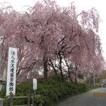 組合事務所の近くにある桜の樹が今年も立派に咲きました。みなさん方の心を和ませています(水沢 岩渕 幸喜さん)
