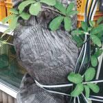我が家の庭にある木彫りのフクロウ。そのフクロウにアケビのツルが絡みました(盛岡 小倉 理勝さん)