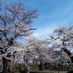 今年も水沢公園の桜が綺麗に咲きました。(水沢建築労働組合 主婦の会 岩渕さん)