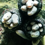 仙台うみの杜水族館でとても愛らしいマアナゴの姿を撮影しました(県連書記局)
