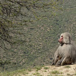 Baboon on the road to Asmara from Massawa - Ghinda