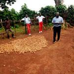 Face à une récolte de pommes de terre