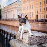 Той-фокстерьеры питомника Терра Балтика