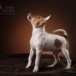 Той-фокстерьер Terra Baltika Saint Valentin, на фото 2,5 месяца