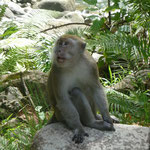 Long Tailed Macaque