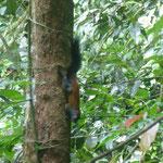 Squirrel, Eichhörnchen