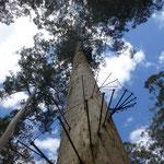 Bicentennial Tree Lookout auf 65 Meter Höhe
