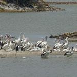 Pelikane, Filtzgerald NP
