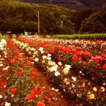 Eines der ersten Rosenfelder