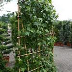 Sichtschutzelement (Amberbaum)