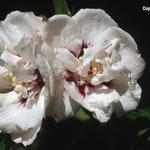 Hibiscus 'Speziosus'