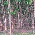 Plantation d'Hévéas (arbre caoutchouc)