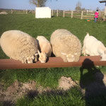 Wollibo & Kikibell (Schafe), Kiki & Bimmel (Ziegen)